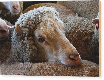 Sheep To Be Sheared Wood Print by Susan Vineyard