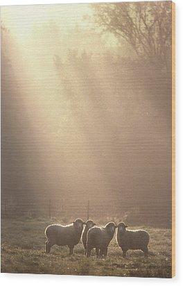 Sheep Underhill Vt Wood Print by George Robinson