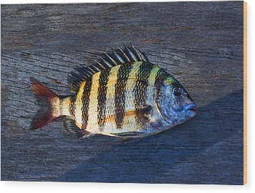 Wood Print featuring the photograph Sheepshead Fish by Laura Fasulo