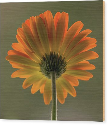 Shine Bright Gerber Daisy Square Wood Print by Terry DeLuco