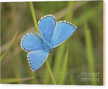 Shocking Blue Butterfly Wood Print