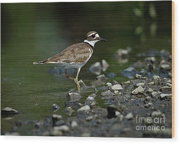 Killdeer  Wood Print by Douglas Stucky
