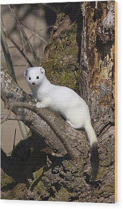 Short-tailed Weasel Mustela Erminea Wood Print by Konrad Wothe