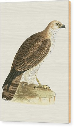 Short Toed Eagle Wood Print by English School