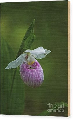 Showy Lady's Slipper.. Wood Print by Nina Stavlund