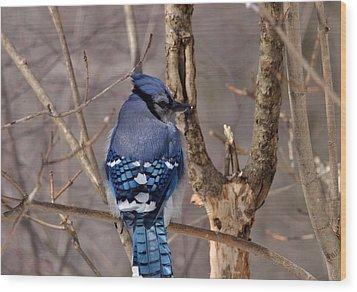 Shy Blue Jay  Wood Print by David Porteus