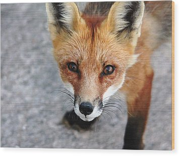 Shy Red Fox  Wood Print by Debbie Oppermann