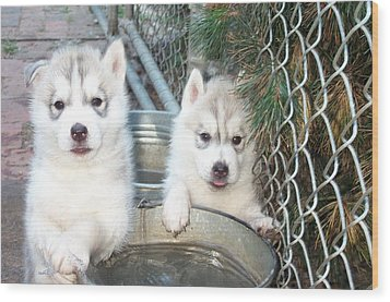 Siberian Husky Puppies Wood Print by Jean Gugliuzza