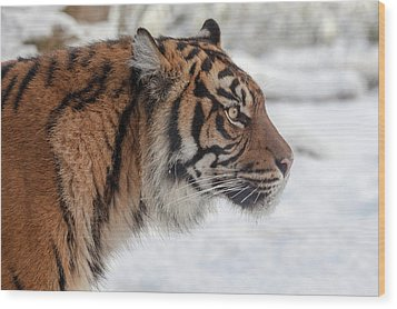 Side Portrait Of A Sumatran Tiger In The Snow Wood Print