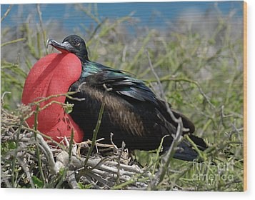 Side View Of Great Frigate Bird In Shrub Wood Print by Sami Sarkis