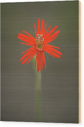 Wood Print featuring the photograph Silene Laciniata - Indian Pink by Alexander Kunz