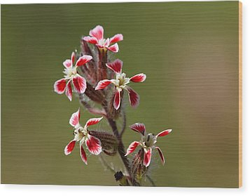 Wood Print featuring the photograph Silene by Richard Patmore