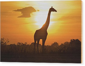 Silhouette Giraffe At Sunset Wood Print by Joost Notten