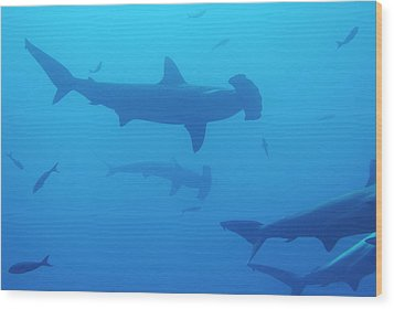 Silhouette Of Scalloped Hammerhead Sharks Wood Print by Sami Sarkis
