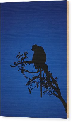 Silhouetted Proboscis Monkey Nasalis Wood Print by Mattias Klum