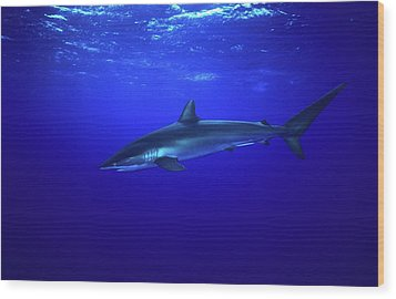 Silky Shark Wood Print