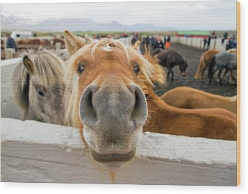 Silly Icelandic Horse Wood Print