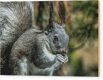 Silver Abert's Squirrel Close-up Wood Print