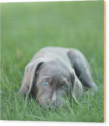 Silver Lab Puppy Wood Print by Laura Ruth