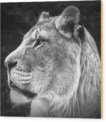 Silver Lioness - Squareformat Wood Print