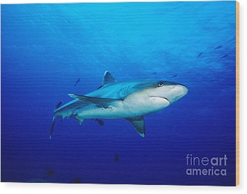 Silvertip Shark In Thailand Wood Print by Dave Fleetham - Printscapes
