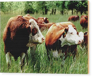Simmental Bull And Hereford Cow Wood Print by Larry Campbell