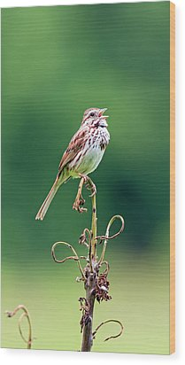 Singing Song Sparrow Wood Print by Jennifer Nelson