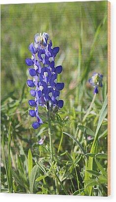 Single Texas Blue Bonnet Wood Print by Linda Phelps