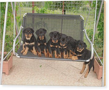Six Rottweiler Puppies Lined Up On A Swing Wood Print by Tracey Harrington-Simpson