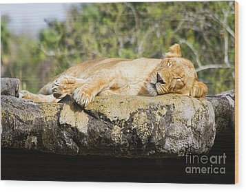 Sleeping Lion Wood Print by Stephanie Hayes