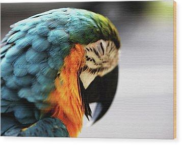Sleeping Macaw Wood Print by Dan Pearce
