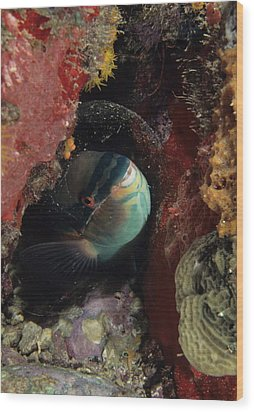 Sleeping Princess Parrotfish In Cocoon Wood Print by Don Kreuter