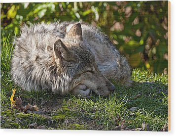 Wood Print featuring the photograph Sleeping Timber Wolf by Michael Cummings
