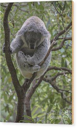 Sleepy Koala Wood Print by Sheila Smart Fine Art Photography