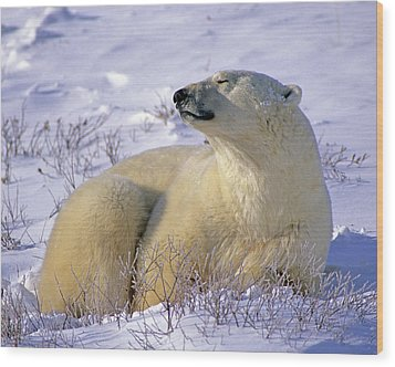 Sleepy Polar Bear Wood Print by Tony Beck