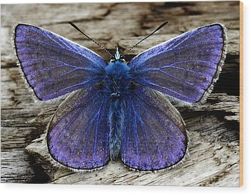Small Blue Butterfly On A Piece Of Wood In Ireland Wood Print by Pierre Leclerc Photography