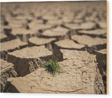 Wood Print featuring the photograph Small Grass Growth On Dried And Cracked Soil In Arid Season. by Tosporn Preede