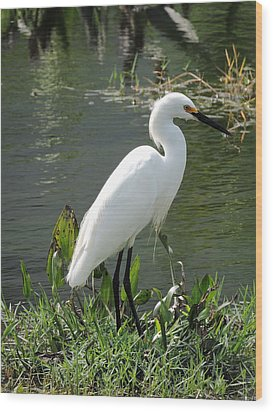 Wood Print featuring the photograph Snow Egret by William Albanese Sr
