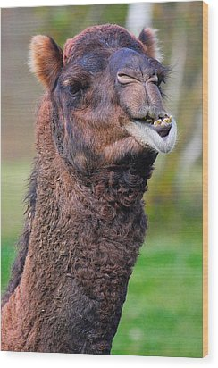 Smiling Camel Wood Print by Naman Imagery