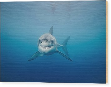 Smiling Great White Shark Wood Print by Dave Fleetham - Printscapes