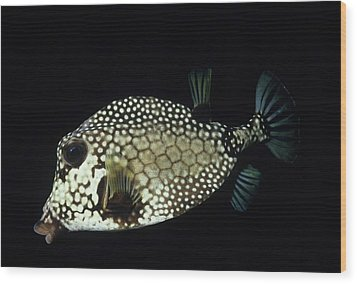 Smiling Smooth Trunkfish Wood Print by Don Kreuter