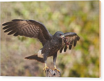 Snail Kite With Crab In Pantanal Wood Print