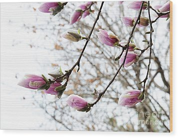 Snow Capped Magnolia Tree Blossoms 2 Wood Print by Andee Design