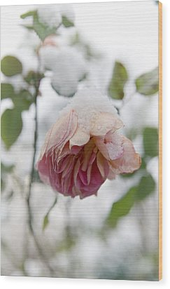 Snow-covered Rose Flower Wood Print by Frank Tschakert