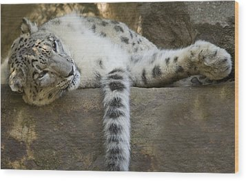 Snow Leopard Nap Wood Print by Mike  Dawson