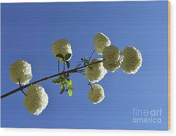 Wood Print featuring the photograph Snowballs On A Stick by Skip Willits