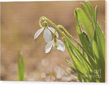 Snowbell With Dew Drops Wood Print