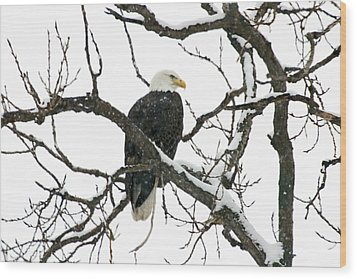 Snowy Eagle Wood Print by Dave Clark