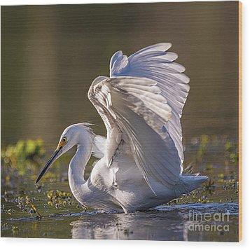 Snowy Egret Hunting - Egretta Thula Wood Print