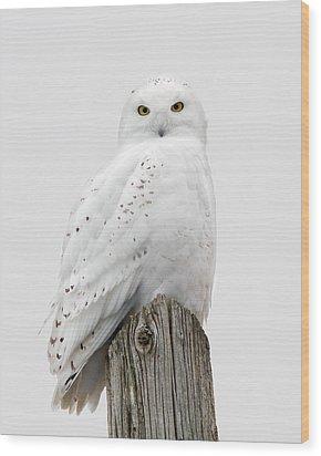 Snowy Owl Portrait Wood Print by Timothy McIntyre